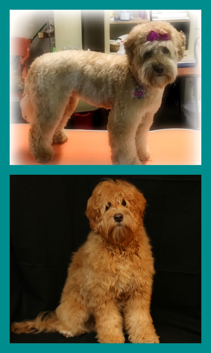 Australian Labradoodle puppies for sale now. Home raised