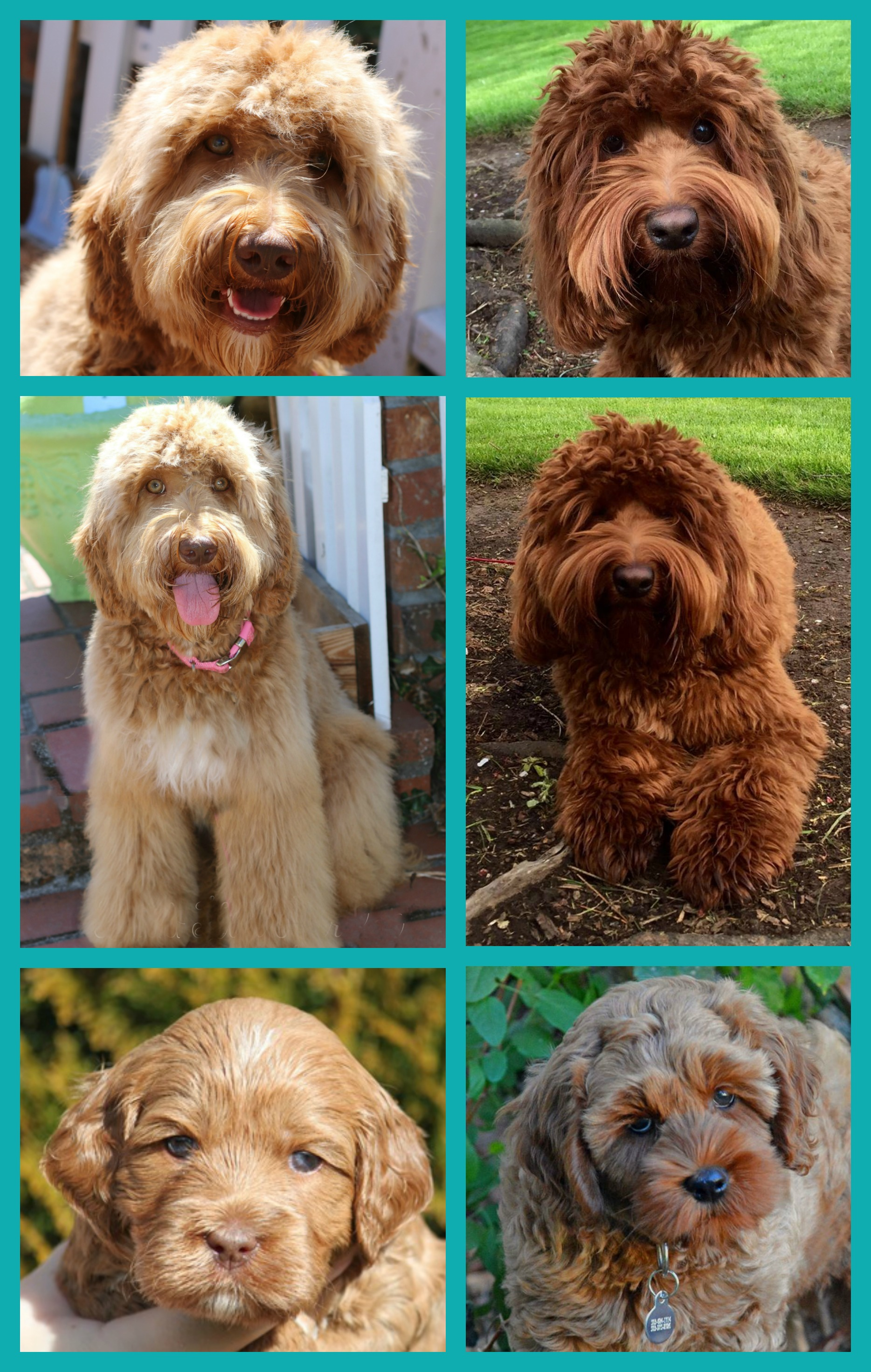 red labradoodles, australian labradoodle puppies