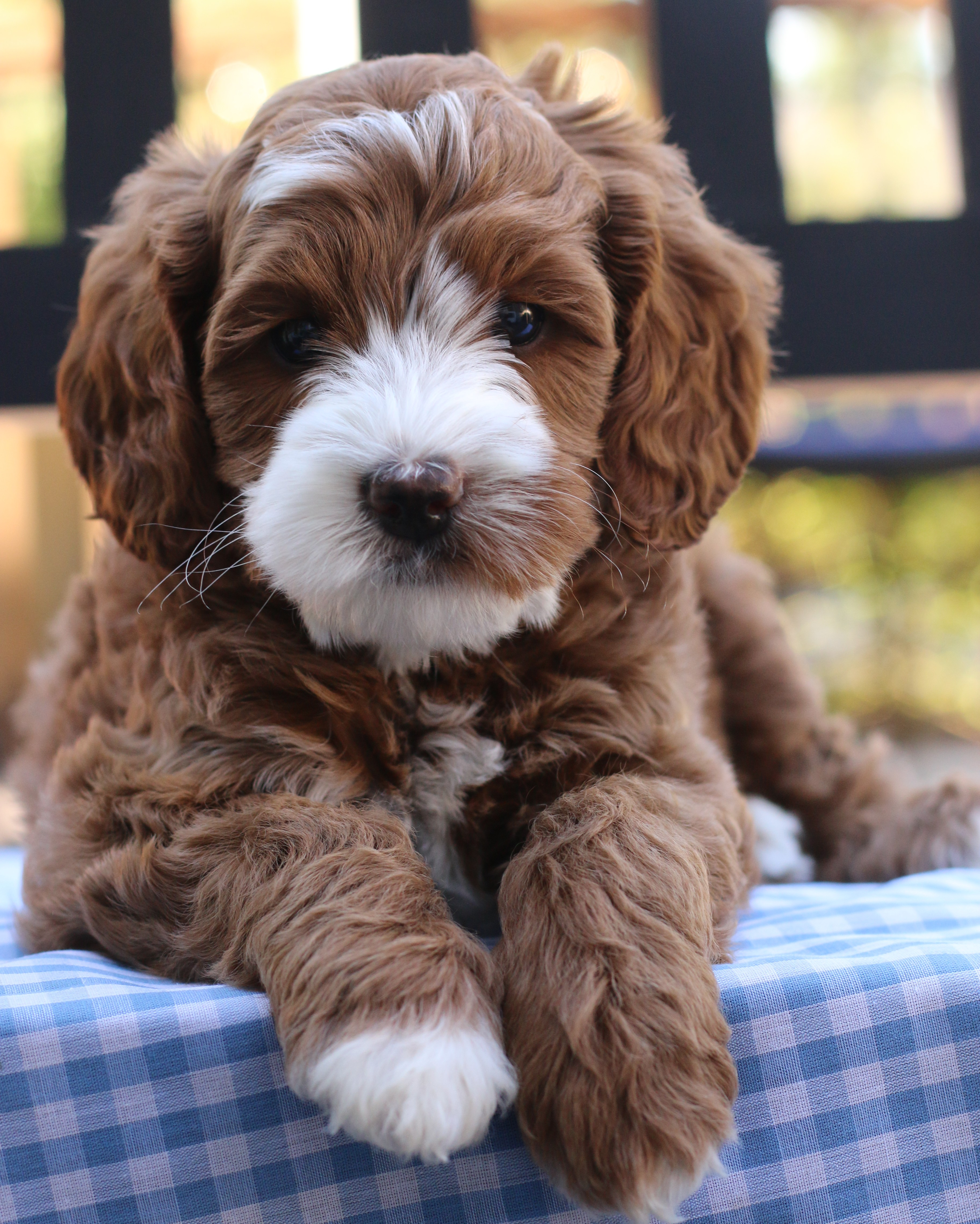 Australian Labradoodle Puppies From