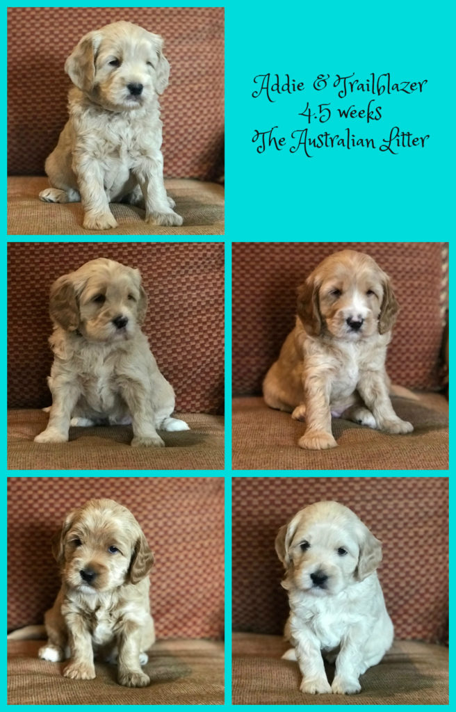 LABRADOODLE PUPPIES, NEW YORK PUPPIES, CREAM PUPPIES