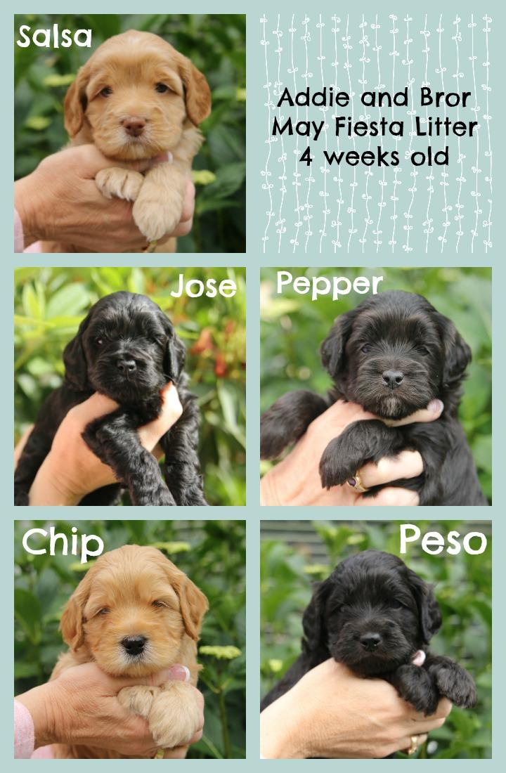 black labradoodle puppies, black satin puppies, cute puppies, labradoodle breeder