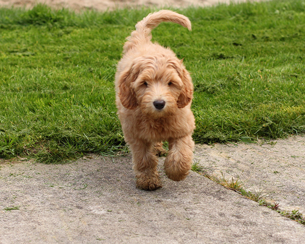Daisy-Hill-Calliope-puppy-running