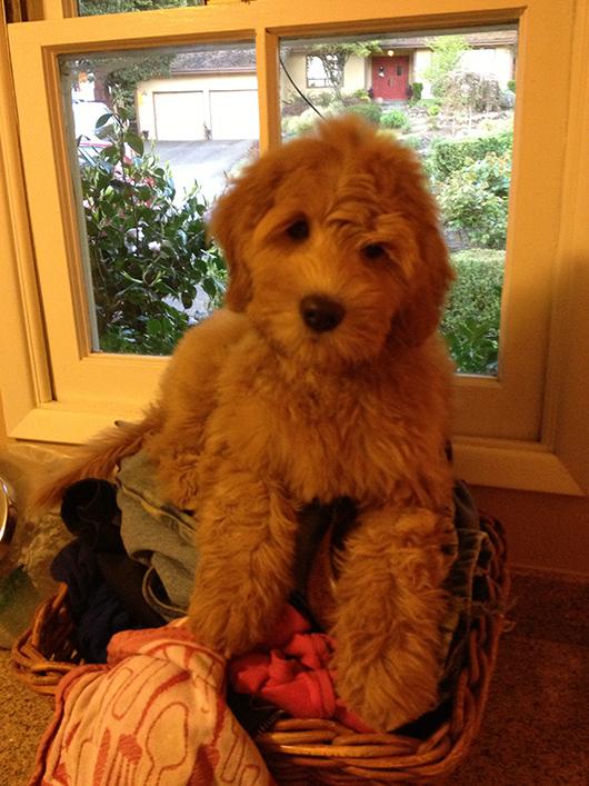 Daisy-Hill-Calliope-puppy
