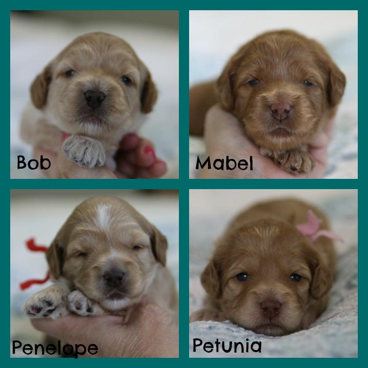 newborn labradoodle puppies, Australian Labradoodle puppies, Australian Labradoodles in New York