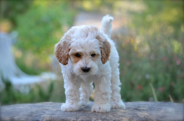 Lovable-Labradoodles-Puckett-looking