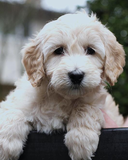 Mountain-Park-Thoroughly-Modern-Millie-puppy