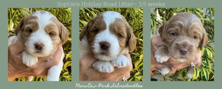 Available Australian Labradoodle Puppies for Sale   Mountain
