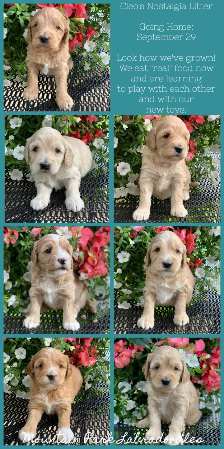 Available Australian Labradoodle Puppies for Sale | Mountain