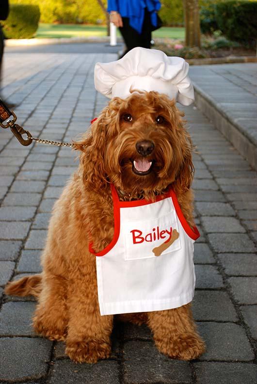 Australian Labradoodle - Chef Bailey